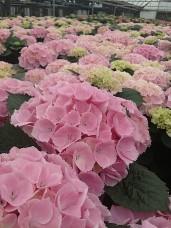 "Light Pink 8"" Hydrangea"