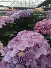 "Purple 8"" Hydrangea"