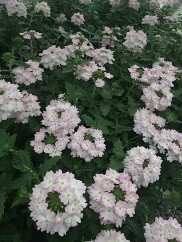 Verbena Light Pink