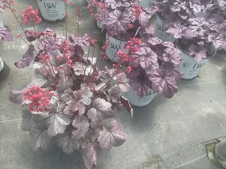 Heuchera Dolce Silverdrop and Wildberry