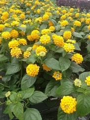 Evita Yellow Lantana