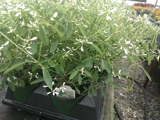 Breathless Euphorbia