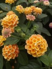 Evita Orange Lantana