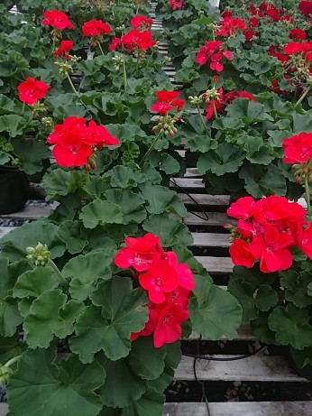 "6"" Geraniums"