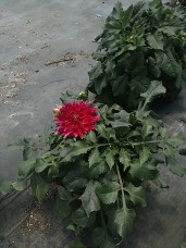 "10"" Dinnerplate Dahlia"