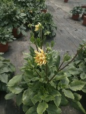 "10"" TC Dahlias"