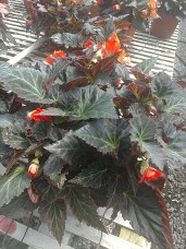 "10"" Begonia I'Conia Portofino"