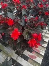 Portofino Begonias