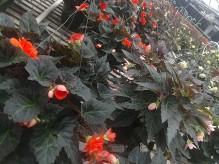 """10"""" HB Begonias"""