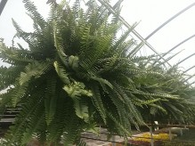 "10"" Kimberly Queen Ferns"