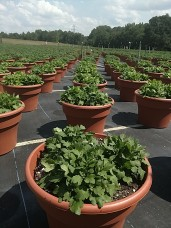 "12"" Mum planters"