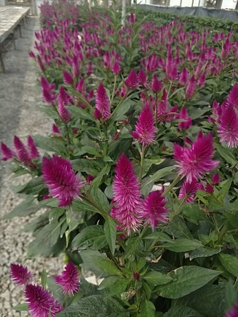 Deep Purple Celosia