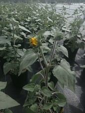 Suntastic Sunflower