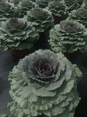Songbird Red Kale