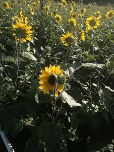 Suntastic Sunflowers