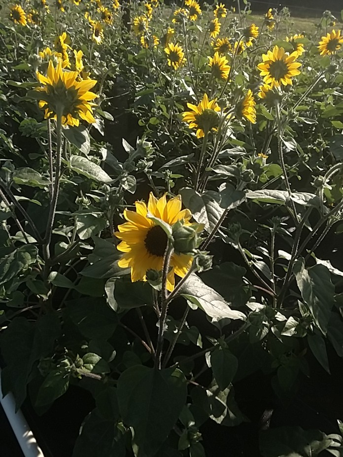 Suntastic Sunflowers