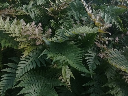 Autumn Fern 6""