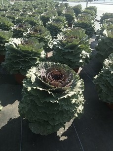 Flowering Kale - Songbird Red
