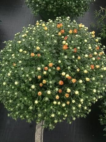 """8"""" Aubrey Orange"""