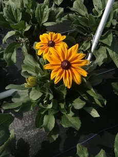 Indian Summer Rudbeckia