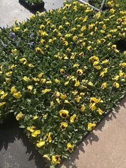 Yellow Blotch Matrix Pansies