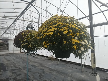 "10"" Mum Hanging Baskets. They're almost gone!"
