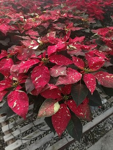 "8"" Red Glitter Poinsettia"