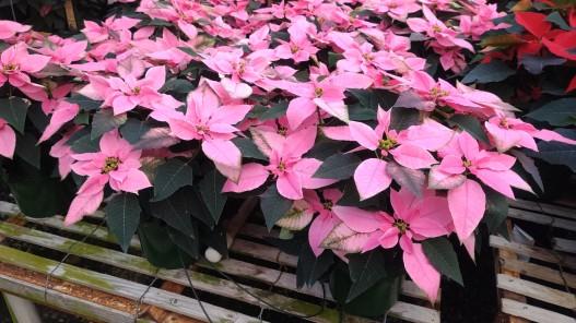 J'Dore Pink Poinsettia Hybrid