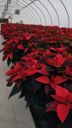 "12"" Red Poinsettia"