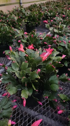 "8"" Red Zygocactus"