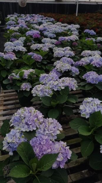 "6"" Blue Hydrangea"