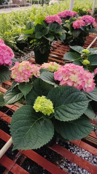 "8"" (3 Bloom) Pink Hydrangea"