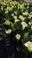 """White 6.5"""" Callas"""