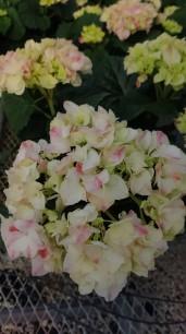 "8"" Marble Pink Hydrangea"