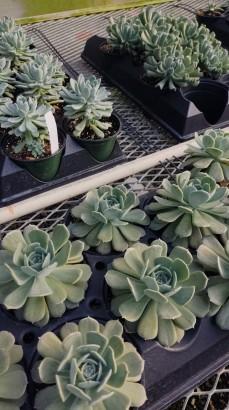 "4.5"" Succulents"