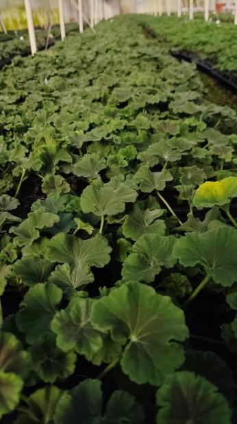 Baby Geraniums!