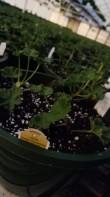 Future geranium baskets!