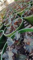 Future begonia baskets!