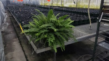 "10"" Kimberly Queen Fern"