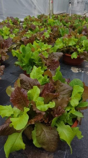Lettuce Bowls!