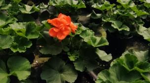 "4.5"" Geraniums"