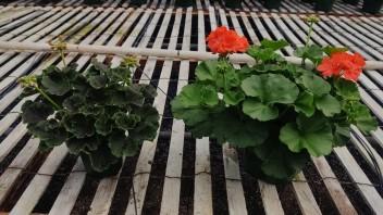 """4.5"""" and 6.5"""" Geraniums"""