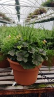 "12"" Mixed Geranium Pot"