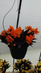 """10"""" Begonia HB"""