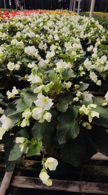 "6.5"" Begonia (White, Single Bloom)"