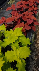 "4.5"" Wasabi and Red Head Coleus"