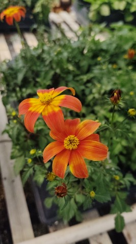 "4.5"" Bidens Bee Happy"