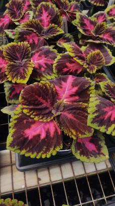 Kong Watermelon Coleus