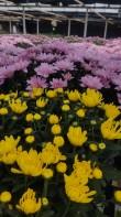 Florist Mums