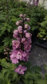 Delphinium Rose White Bee